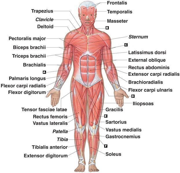 muscular system - ariannalipton, Muscles
